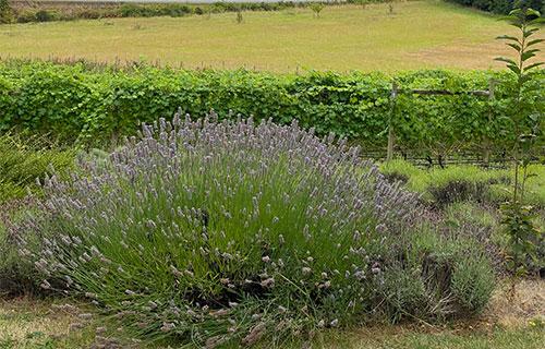 Damali Lavender & Winery